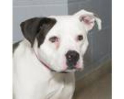 Adopt Opal a Black - with White Pit Bull Terrier / Mixed dog in Troy