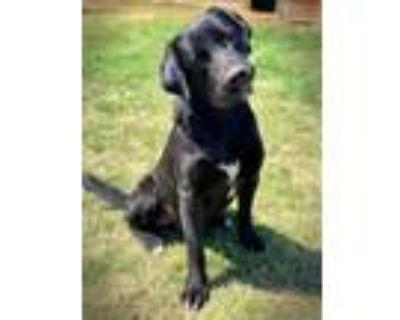 Adopt Austin a Black - with White Labrador Retriever / Mixed dog in Brattleboro