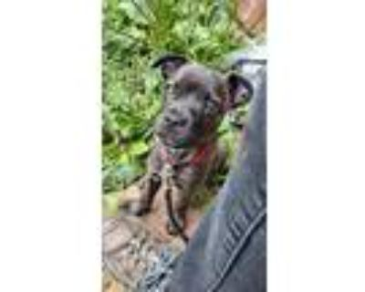 Adopt Henry Lee a Terrier, Mixed Breed