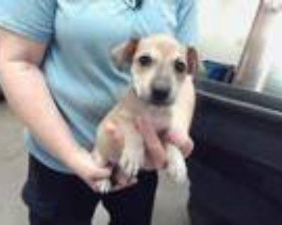 Adopt A4612040 a Labrador Retriever, Mixed Breed