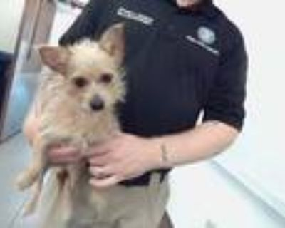 Adopt CASEY a Brown/Chocolate Cairn Terrier / Mixed dog in Phoenix