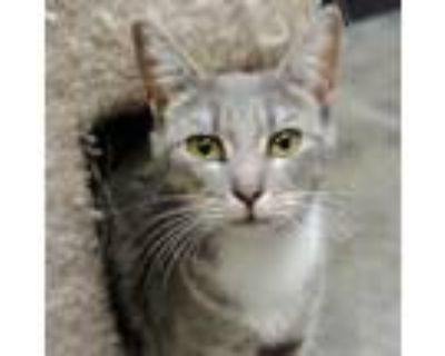 Adopt Feather a Gray or Blue Domestic Shorthair / Domestic Shorthair / Mixed cat