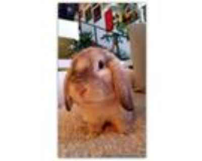 Adopt Lover Jr. (updated) a Holland Lop, Mini Lop
