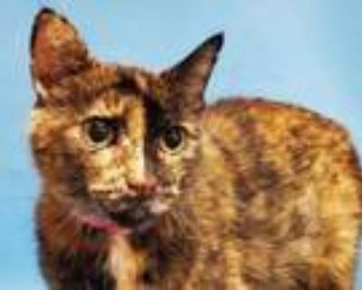 Adopt Lil Lady a Domestic Short Hair