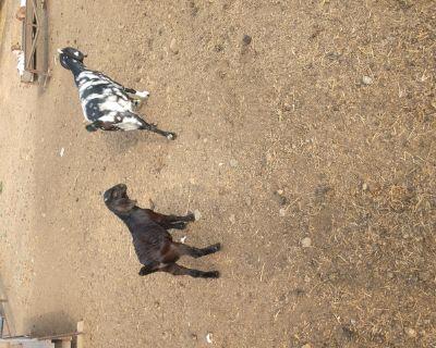 Dapple Boer goats and boer Spanish crosses