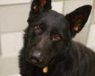 Adopt CORBY a Black German Shepherd Dog / Mixed dog in Denver, CO (31610327)