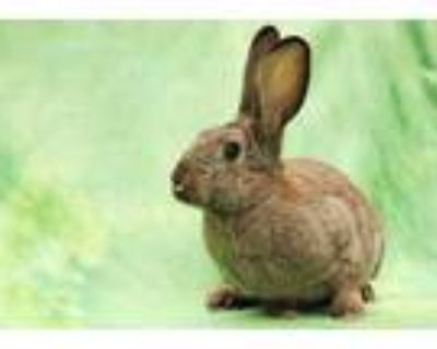 Adopt ESSIE a Sable Other/Unknown / Mixed rabbit in San Jose, CA (31599666)