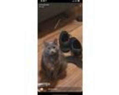 Adopt Jasmine a Gray or Blue Domestic Mediumhair / Mixed (medium coat) cat in