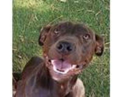 Abel, American Pit Bull Terrier For Adoption In Phoenix, Arizona