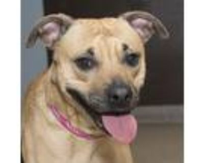 Adopt Buddy a Tan/Yellow/Fawn - with Black Boxer / Mixed dog in Troy