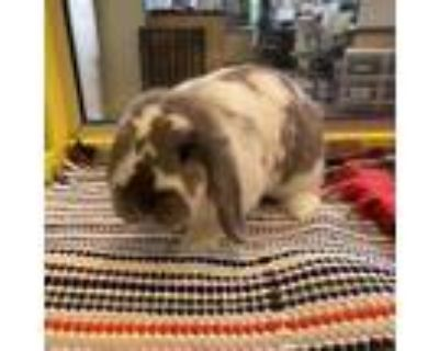 Marnie, Lop, Holland For Adoption In Wausau, Wisconsin