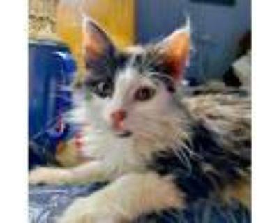 Adopt Xander a All Black Domestic Mediumhair / Domestic Shorthair / Mixed cat in
