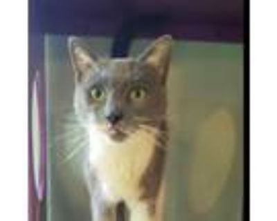 Adopt Jimmy Nardello a Gray or Blue Domestic Shorthair / Mixed cat in Brimfield