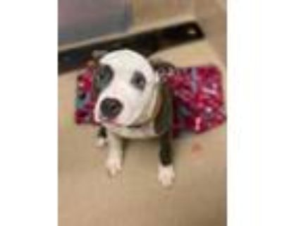 Adopt Justice a White American Pit Bull Terrier / Mixed dog in Newport News