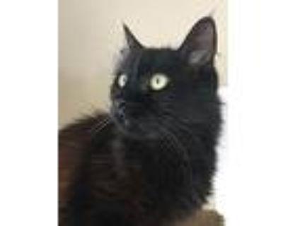 Lg Calypso, Domestic Longhair For Adoption In Cambria, California
