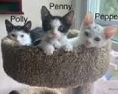 Adopt The 'Triple P' Kittens (Brandywine PS) a White (Mostly) Domestic Shorthair