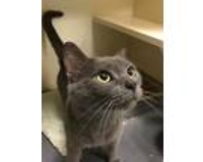 Adopt Sage a Domestic Shorthair / Mixed (short coat) cat in Portsmouth