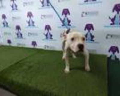 Adopt DRAKO a White - with Brown or Chocolate American Pit Bull Terrier / Mixed