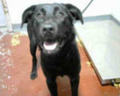 Adopt ARROW a Black Labrador Retriever / Mixed dog in Atlanta, GA (32136619)
