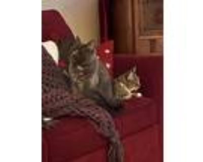 Adopt Marie a Brown Tabby American Shorthair / Mixed (short coat) cat in
