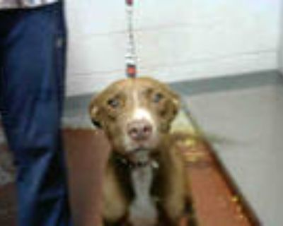 Adopt PUMPKIN a Brown/Chocolate - with White American Pit Bull Terrier / Mixed