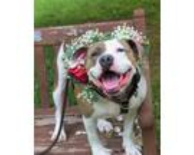 Adopt Pretty a White American Pit Bull Terrier / Mixed dog in Williamsburg