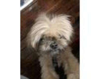 Adopt CC a Tan/Yellow/Fawn Shih Tzu / Mixed dog in Maple Heights, OH (31480612)
