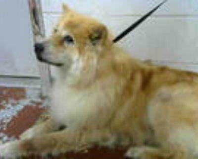Adopt MUCHACHA a Black Chow Chow / Mixed dog in Atlanta, GA (31557128)
