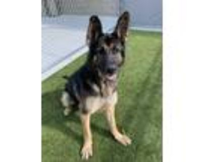 Adopt Toby a Black German Shepherd Dog / Mixed dog in Noblesville, IN (31494329)