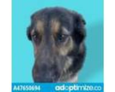 Adopt 47650694 a Black German Shepherd Dog / Mixed dog in El Paso, TX (31524091)