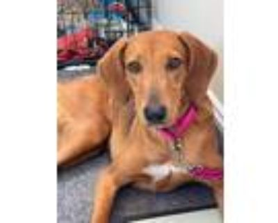 Adopt Bailey a Black - with Tan, Yellow or Fawn Hound (Unknown Type) / Mixed dog