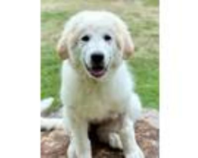 Adopt Anthem a White - with Red, Golden, Orange or Chestnut Great Pyrenees /
