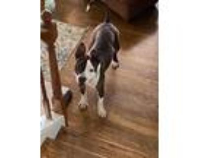 Adopt Sergeant Bumbleton Sarge a American Pit Bull Terrier / Mixed dog in
