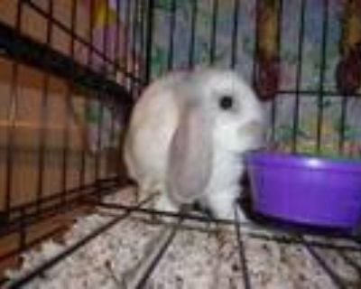Adopt Butterscotch a White American / American / Mixed rabbit in Arlington