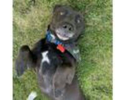 Adopt Bozley a Dachshund, Labrador Retriever