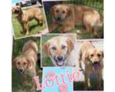 Adopt Lottie a Tan/Yellow/Fawn Labrador Retriever / Mixed dog in El Dorado