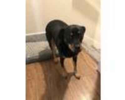 Adopt JD a Black - with Tan, Yellow or Fawn Miniature Pinscher / Rottweiler /