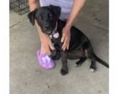 Adopt Prunella a Black - with Tan, Yellow or Fawn Labrador Retriever / Coonhound