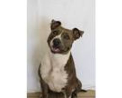 Adopt Cheyenne a American Pit Bull Terrier / American Staffordshire Terrier /