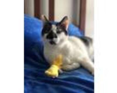 Adopt Moo-Moo a Black & White or Tuxedo American Shorthair / Mixed (short coat)