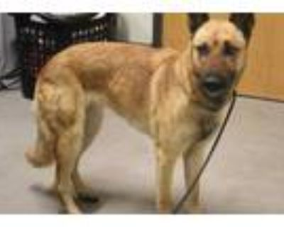 Adopt a Brown/Chocolate - with Black Belgian Malinois / Mixed dog in Modesto