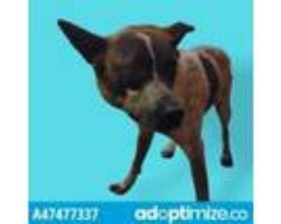 Adopt 47477337 a White Blue Heeler / Mixed dog in El Paso, TX (31163948)