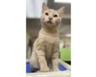 Adopt Beans a Tan or Fawn Domestic Shorthair / Domestic Shorthair / Mixed cat in