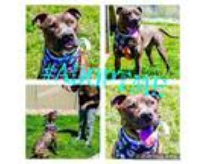Adopt TUGBOAT a Brindle American Pit Bull Terrier / Mixed dog in Louisville
