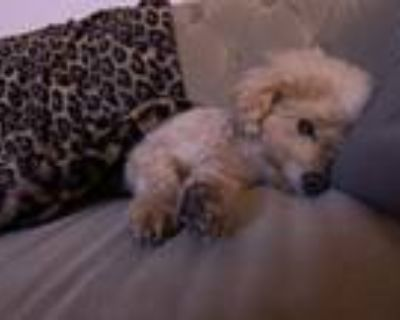 Adopt Susie a Red/Golden/Orange/Chestnut Poodle (Toy or Tea Cup) / Mixed dog in