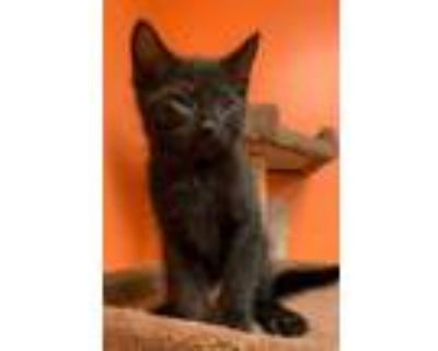 Adopt Nightrider a All Black Domestic Shorthair / Domestic Shorthair / Mixed cat