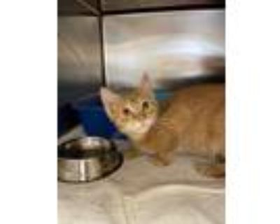 Adopt Blaine a Orange or Red Domestic Shorthair / Domestic Shorthair / Mixed cat