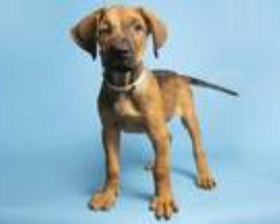 Adopt BIZ a Brown/Chocolate - with Black Plott Hound / Labrador Retriever /