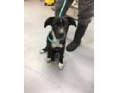 Adopt 48261122 a Black American Pit Bull Terrier / Mixed dog in Los Lunas