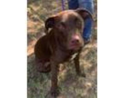 Adopt Hershey a Labrador Retriever / Mixed dog in Little Rock, AR (32124147)